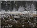 SU9555 : Frozen scrub, Pirbright Common by Alan Hunt