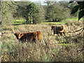 TM1897 : Highland cattle on Flordon Common by Evelyn Simak