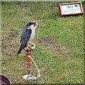 SJ9593 : Harris Hawk at Gee Cross Fete, 2003 by Gerald England