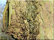 J3371 : Tree canker, Stranmillis, Belfast (January 2015) by Albert Bridge