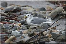 HP5605 : Kittiwake (Rissa tridactyla), Westing beach by Mike Pennington