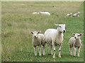 SU1242 : Ewe and lambs by Stephen Craven