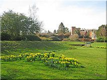 SK6464 : Daffodils at Rufford Park by Trevor Rickard
