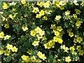 NT9249 : Flowering potentilla by David Chatterton