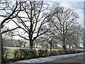 SJ4460 : Trees on the south side of Platt's Lane by Christine Johnstone