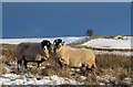 NY3830 : Sheep and snowed moorland near Eycott Hill by Trevor Littlewood