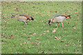 TQ1477 : Egyptian Geese, Osterley Park, Isleworth by Christine Matthews