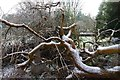 SJ4065 : Fallen tree at Overleigh Cemetery by Matt Harrop