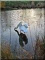 TF6421 : Swan on frozen pond by Martin Pearman
