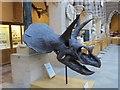 SP5106 : Triceratops skull by Bill Nicholls
