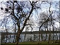SK2099 : Gnarly silver birches in Thickwoods Langsett by Steve  Fareham