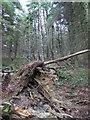 SK2199 : One tree less in Langsett Wood by Steve  Fareham