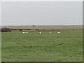 TG5006 : Family of Swans on Gapton Marshes by Adrian S Pye