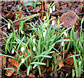J3268 : Snowdrops, Minnowburn, Belfast (February 2015) by Albert Bridge