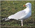 J5182 : Herring gull, Ballyholme, Bangor (February 2015) by Albert Bridge