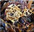 J4582 : Seaweed, Helen's Bay - February 2015(2) by Albert Bridge