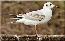 J4774 : Black-headed gull, Kiltonga, Newtownards - February 2015(2) by Albert Bridge