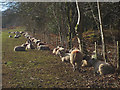 SD3095 : Sunbathing sheep, Coniston Hall by Karl and Ali