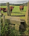 SE0829 : Cattle on the Calderdale Way by Derek Harper
