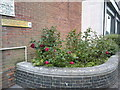 SZ0991 : Bournemouth: roses round the back of Bournemouth House by Jonathan Hutchins