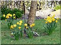 SJ9593 : Suburban Daffodils by Gerald England