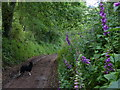 SO8078 : Foxgloves along the track to Easthams Farm by Mat Fascione