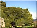 SJ2106 : Mountainous yew, Powis Castle by Chris Denny
