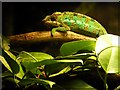 SJ8496 : Manchester Museum Vivarium, Panther Chameleon (Furcifer pardalis ) by David Dixon