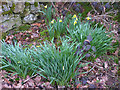 SD4774 : First daffodils, Silverdale by Karl and Ali