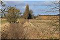 SE8733 : Poplar trees, Windy Acres Farm by Pauline E