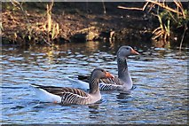 TL8063 : Greylag geese (Anser anser) by Bob Jones