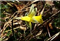 SX8088 : Daffodil. Dunsford Wood by Derek Harper