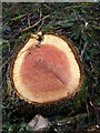 SX7889 : Cut tree, Cod Wood by Derek Harper