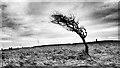 NZ7419 : Windswept Tree, Rockcliffe by Mick Garratt
