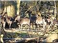 SP9712 : Ashridge Estate - Young fallow deer by Rob Farrow