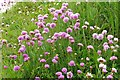 SZ2392 : Thrift on the cliff at Hoskins Gap by Steve Daniels