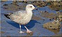 J3979 : Juvenile gull, Holywood (March 2015) by Albert Bridge