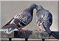 J3474 : Courting pigeons, Queen's Quay, Belfast - March 2015(2) by Albert Bridge