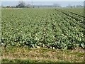TF3137 : Cabbages - Wash Road south of Kirton in Lincolnshire by Richard Humphrey