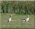 SP9013 : Greylags on the march by Rob Farrow