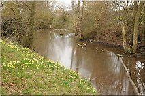 SO6928 : Daffodils beside a stream near Dymock by Philip Halling