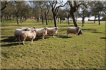 SO6830 : Sheep near The Old Rock by Philip Halling