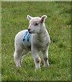 SS8847 : Lamb by Sparkhayes Lane by Derek Harper