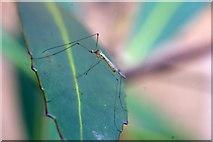 SJ3999 : A limoniid cranefly, Waddicar, Melling by Mike Pennington