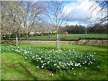 TQ3289 : Daffodils alongside Downhills Park by Marathon