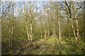 SJ7948 : Bateswood Country Park: birch plantation by Jonathan Hutchins