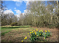 TQ2773 : Daffs on Wandsworth Common by Des Blenkinsopp