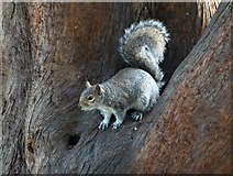 TL9925 : Grey squirrel in Castle Park, Colchester by Neil Theasby