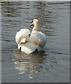 TQ3693 : Mute Swan, River Lee Navigation, London N18 by Christine Matthews