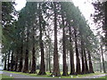 NZ0255 : Giant Redwoods, Minsteracres by Andrew Curtis
